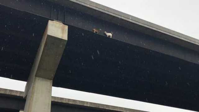 Goats Rescued from Side of Turnpike Bridge
