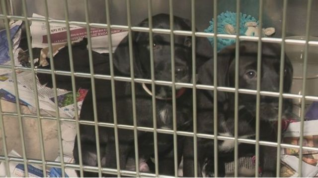 R.I. bill would make it illegal to sell non-shelter dogs and cats